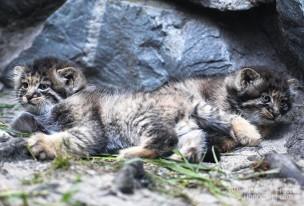 Котята сибирского манула, родившиеся в мае 2018 в Новосибирском зоопарке имени Р.А. Шило