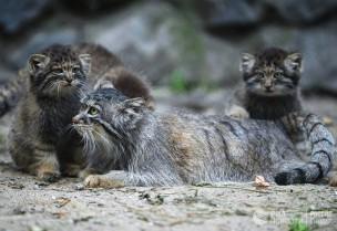 Самка манула со своими котятами в вольере Новосибирского зоопарка имени Р.А. Шило