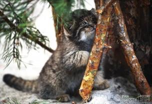 Котенок сибирского манула, родившийся в мае 2018 в Новосибирском зоопарке имени Р.А. Шило